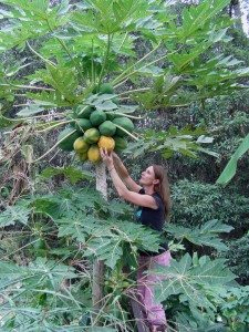 harvesting papaya