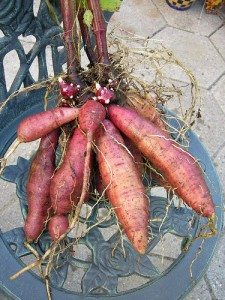 yacon tubers and red rhizomes