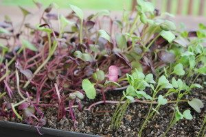 radish and kale microgreens