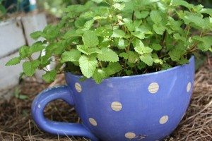 potted lemon balm